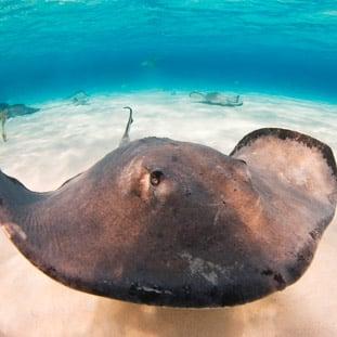 La raya y su peculiar belleza - Aquarium Cancún