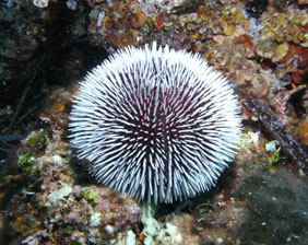 Erizo blanco rodeado de arrecife | Aquarium Cancún