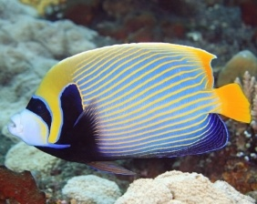 Ángel emperador en arrecife coralino   Aquarium Cancún