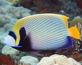 Ángel emperador en arrecife coralino | Aquarium Cancún