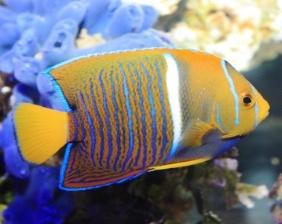Ángel Passer en arrecife de agua clara   Aquarium Cancún