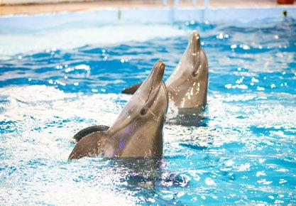 Delfines nadando en el Show de Delfines | Aquarium Cancún