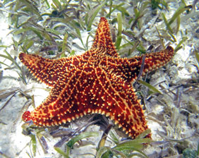Sea Star have five tapered arms radiate| Aquarium Cancún