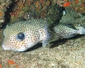 Blowfish with Small Fins | Aquarium Cancún