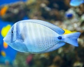 Desjardin's in coral reefs | Aquarium Cancún