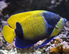 Majestic adult angelfish | Aquarium Cancún
