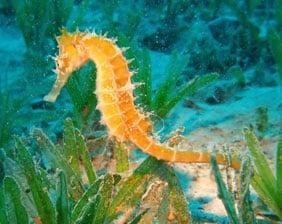 Pacific Seahorse Wildlife | Aquarium Cancún