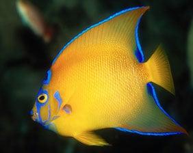 Magnificent Colours of Queen Angelfish | Aquarium Cancún