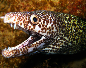 Spotted Moray whit Large Fangs  | Aquarium Cancún