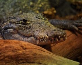 Mexican crocodile with sharp teeth | Aquarium Cancún