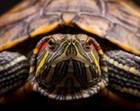 Aquatic turtle is a strong swimmer| Aquarium Cancún